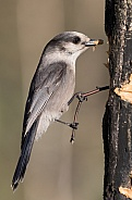 Gray Jay at the Peanut Butter Feeder