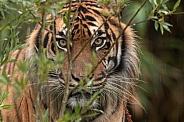 Sumatran Tiger Peeking Through Bushes