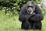 Chimpanzee Sitting Head On Arms Thoughtful