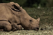 Young Southern White Rhino Close Up