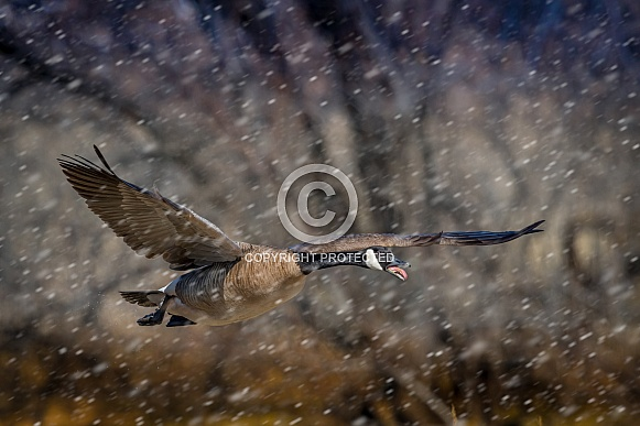 Canada Goose: take off in snow
