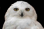 Snowy Owl Face Shot