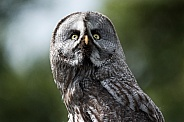 Great Grey Owl Looking Up To Sky