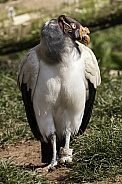 King Vulture Full Body Standing Tall