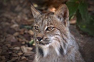 Canadian Lynx Close Up Side Profile