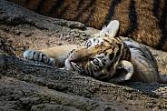 Siberian tiger cub