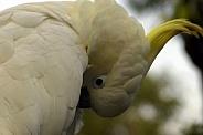 Sulphur Crested Cockatoo preening