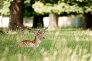 Deer sitting in the grass