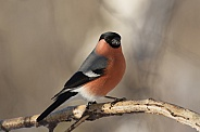 Bullfinch male