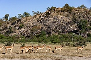 Impala (Aepyceros malampus malampus)
