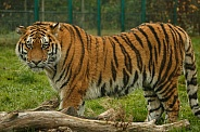 Amur Tiger Standing Looking At Camera Side View