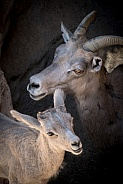 Bighorn Sheep Mother and Lamb