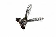 Anna's Hummingbird, Calyste anna