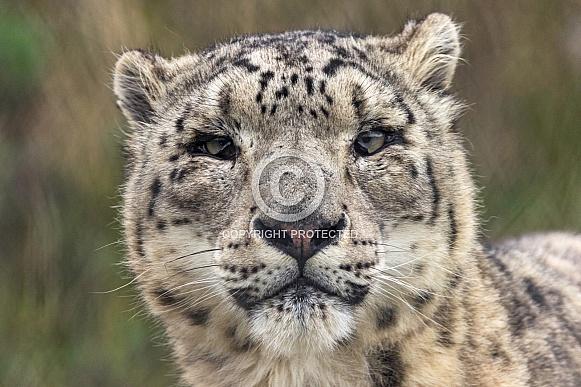 Snow Leopard Face Shot