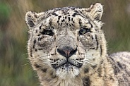 Snow Leopard Face Shot