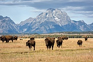 Bison Herd in Grand Teton National Park