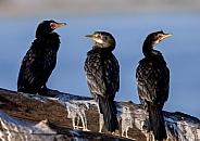 Reed Cormorants - Chobe River - Botswana