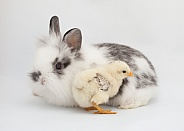 Gallus gallus, domestic chicken, Oryctolagus cuniculus, domestic rabbit