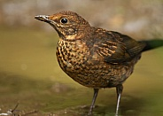 Common Blackbird (juvenile)