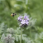 Tricolored Bumblebee Attracted to Lacy Phacelia or Scorpion Weed