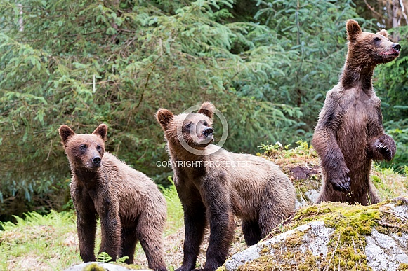 Three wild grizzly bear cubs