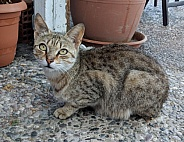 Skiathos Cat