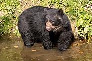 Andean Bear Full Body In Water