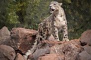 Snow Leopard Standing On Rocks Full Body