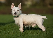 West Highland Terrier Cross