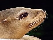 California Sea lion (Zalophus californianus)