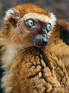 female Slater's Lemur