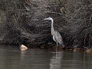 Great Blue Heron Fishing in Utah