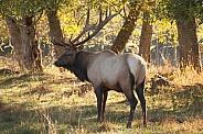 Roosevelt Elk-Bull