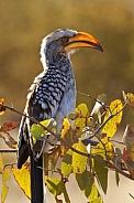 Southern Yellow-billed Hornbill - Botswana