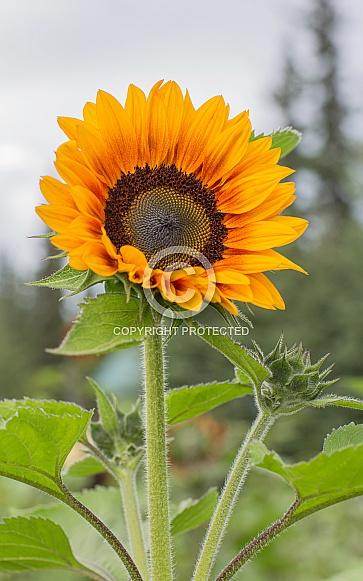 Golden Sunflower in Bloom