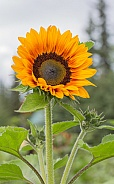 Golden Sunflower in Bloom