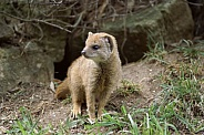Yellow Mongoose Pup