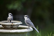 Gray Jay at the Birdbath