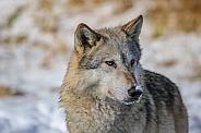 Tundra Wolf at pond