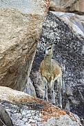 Klipspringer - Etosha National Park - Namibia