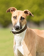Smooth Coated Lurcher