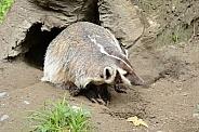 North American Badger