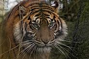 Serious Sumatran Tiger Close Up
