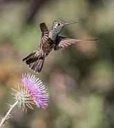 Male Magnificent or Rivoli's Hummingbird