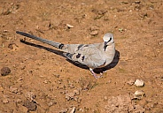 Female Namaqua Dove
