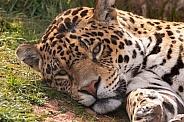 Jaguar Close Up Lying Down Eyes Open