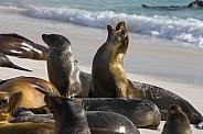 Galapagos Sea Lions - Galapagos Islands