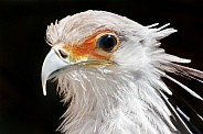 Secretary Bird Face Shot Close Up