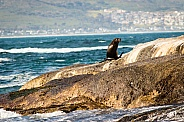 Sea lion on a rock