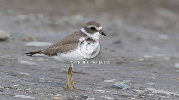 Semipalmated Plover Juvenile